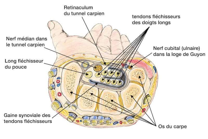 syndrome carpien poignet - nerf carpien poignet - tunnel carpien anatomie - canal carpien nerf médian - anatomie de la main tendon